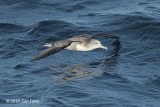 Shearwater, Streaked @ Izu islands