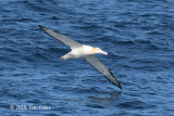 Albatross, Short-tailed (adult) @ Izu islands