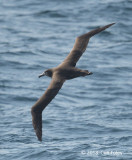 Albatross, Black-footed (imm) @ Izu islands