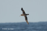 Albatross, Black-footed (juv) @ Izu islands