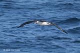 Albatross, Laysan @ Izu islands