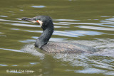 Cormorant, Great @ Imperial Palace