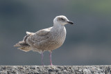 Gull, Glaucous-winged (first winter) @ Hachijo-jima