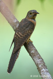 Cuckoo, Rusty-breasted (juv) @ Bishan