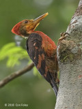 Woodpecker, Orange-backed (male)