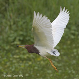 Heron, Chinese Pond @ Bishan