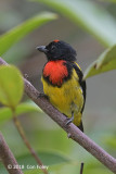 Flowerpecker, Scarlet-breasted @ G Arong