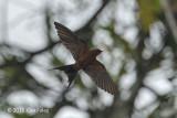 Swallow, Rufous-bellied