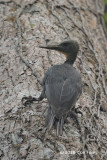 Woodpecker, Great Slaty (female) @ Bukit Timah