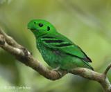 Broadbill, Green (male)