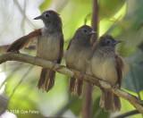 Babbler, Chestnut-winged (juveniles)