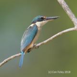 Kingfisher, Sacred @ Kinabatangan