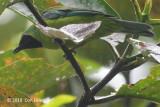 Leafbird, Bornean (female) @ Raffelsia Info Centre