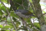 Shrike-babber, White-browed (female) @ Kinabalu
