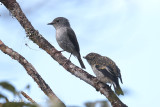 Flycatcher, Little Pied (fem + juv) @ Kinabalu