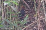 Partridge, Crimson-headed @ Kinabalu