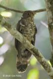 Cuckoo, Dark Hawk (juv) @ Kinabalu