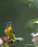 Flowerpecker, Yellow-rumped (male) @ RDC