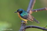 Sunbird, Ruby-cheeked (male) @ RDC