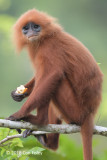 Red Leaf Monkey
