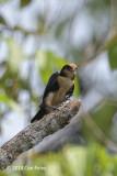 Falconet, White-fronted (female) @ Menanggol River