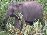 Elephant, Bornean Pygmy (female) @ Kinabatangan