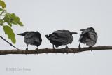 Crow, Slender-billed @ Kinabatangan