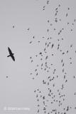 Hawk, Bat @ Gomantong Caves