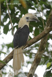 Hornbill, White-crowned (male) @ Kinabatangan