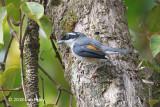Shrike-babbler, White-browed (male) @ Kinabalu