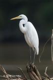 Egret, Great @ Kinabatangan