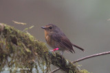 Flycatcher, Snowy-browed (female) @ Kinabalu