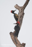 Woodpecker, White-bellied (pair)