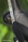 Langur, Banded (juvenile female)