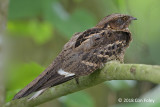 Nightjar, Large-tailed @ Kranji