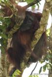 Bornean Orangutan (adult male) @ Kinabatangan