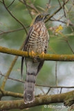 Cuckoo, Large Hawk (adult) @ Sentosa