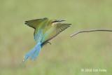 Bee-eater, Blue-tailed @ Seletar