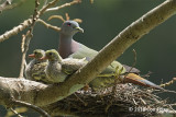 Pigeon, Pink-necked Green (male) @ SBG