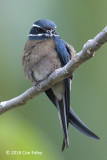 Treeswift, Whiskered (female)