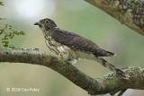 Cuckoo, Malaysian Hawk @ PRP