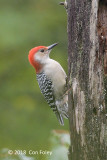 Woodpecker, Red-bellied (male) @ Boothbay Harbor