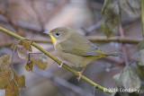 Yellowthroat, Common (female) @ Boothbay Harbor