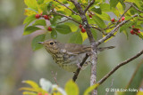 Thrush, Swainson's @ Boothbay Harbor