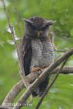 Owl, Barred Eagle (juv) @ Jln Asas
