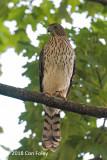Hawk, Cooper's (juv) @ Mt. Auburn Cemetery, Cambridge, MA