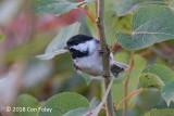 Chickadee, Black-capped @ Gorham, NH