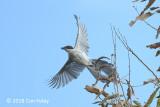 Magpie, Azure-winged @ Kasai Rinkai Park