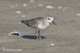 Stint, Red-necked