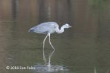 Heron, Grey @ Kasai Rinkai Park